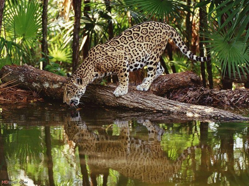 african-jaguar-watering-1600x1200.jpg